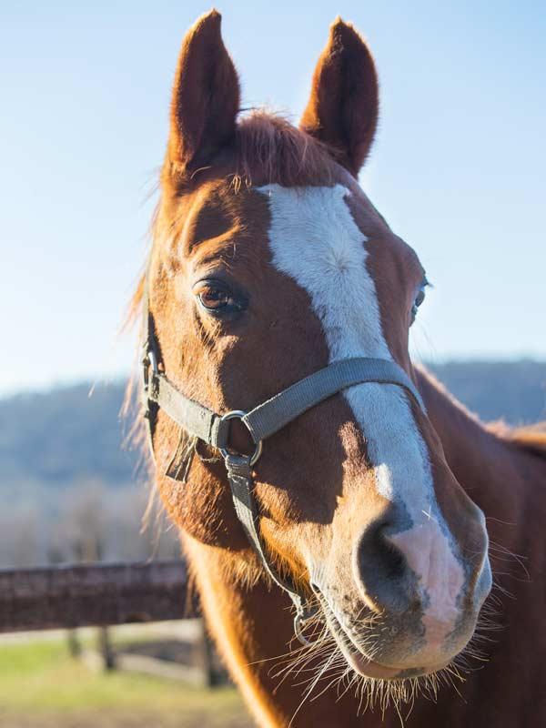 Tierheilpraxis Pia Mayen - Pferd mit Halfter